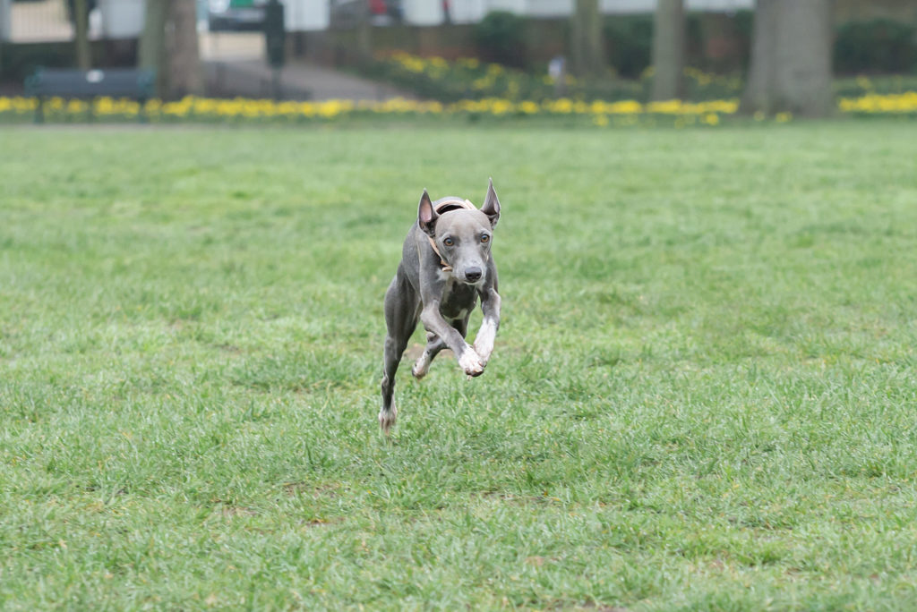 Italian Greyhound running at full speed taken by professional dog & pet photographer in Chelsea, South London