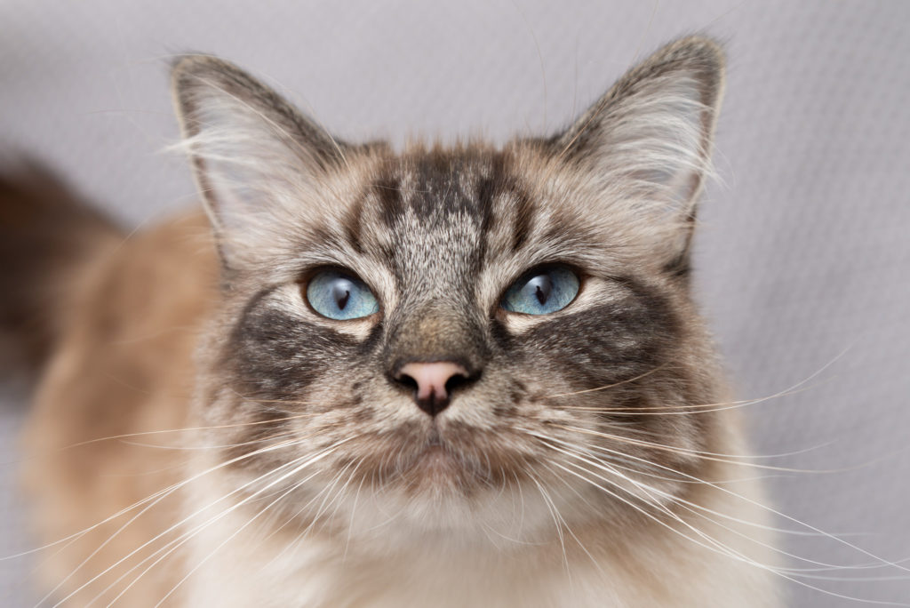 Clapham, South London: pet photography session with close up of cat's face