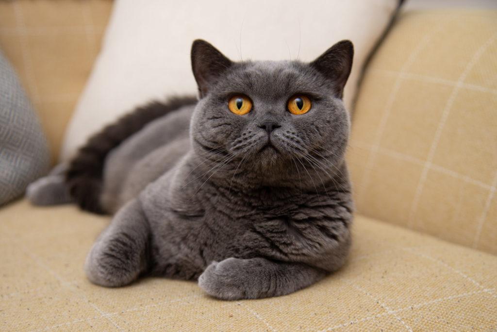 Beautiful Chartreux cat portrait at Wandsworth, South London pet photoshoot