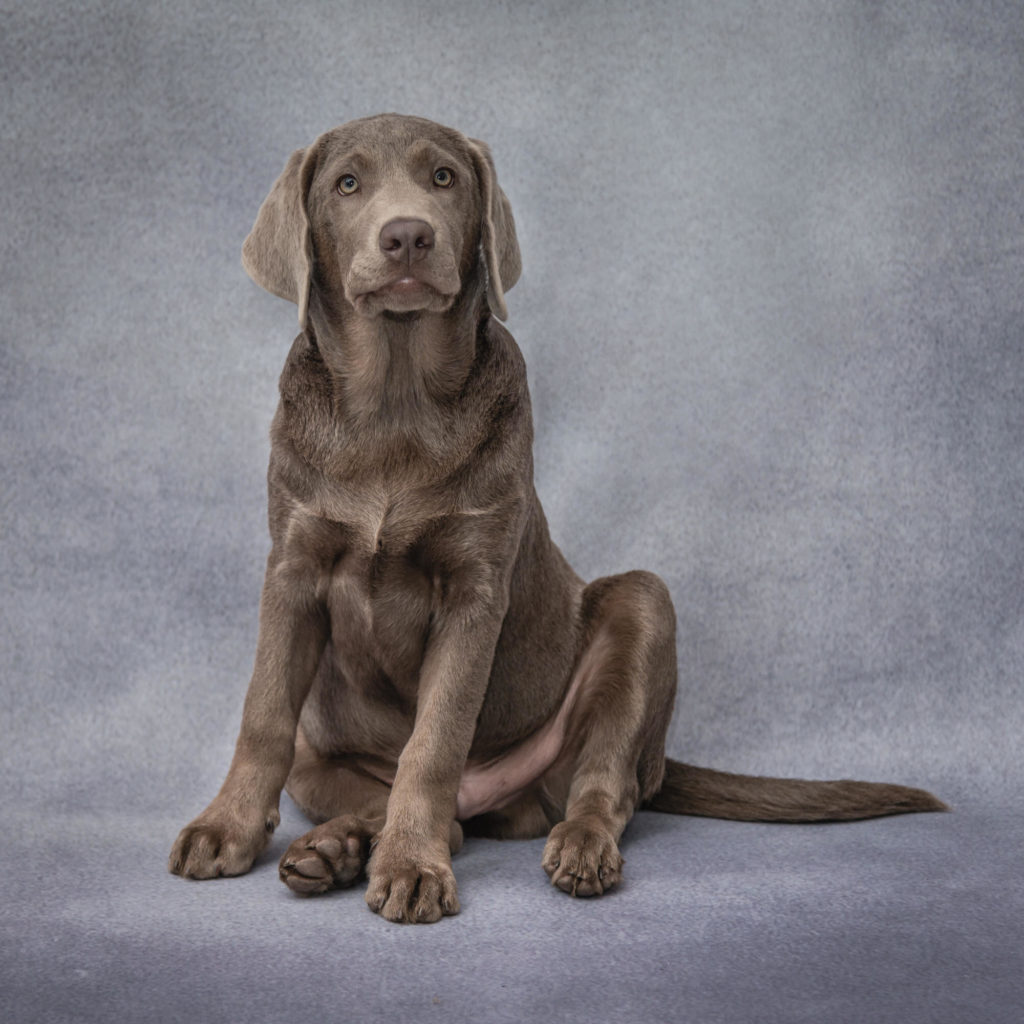 South London dog photography session in Battersea - gorgeous Labrador puppy